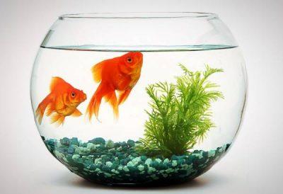 نگهداری-از-ماهی-قرمز